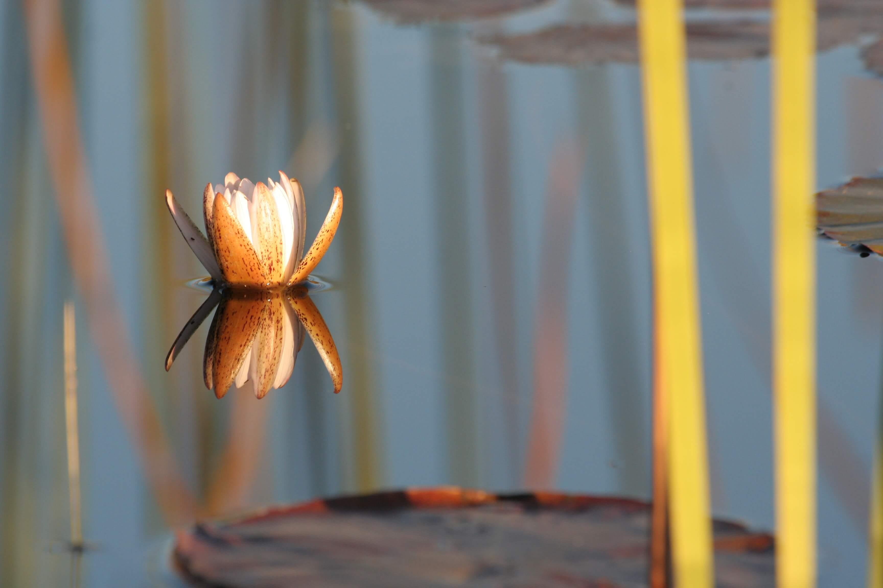 Waterlelie in Selinda Botswana