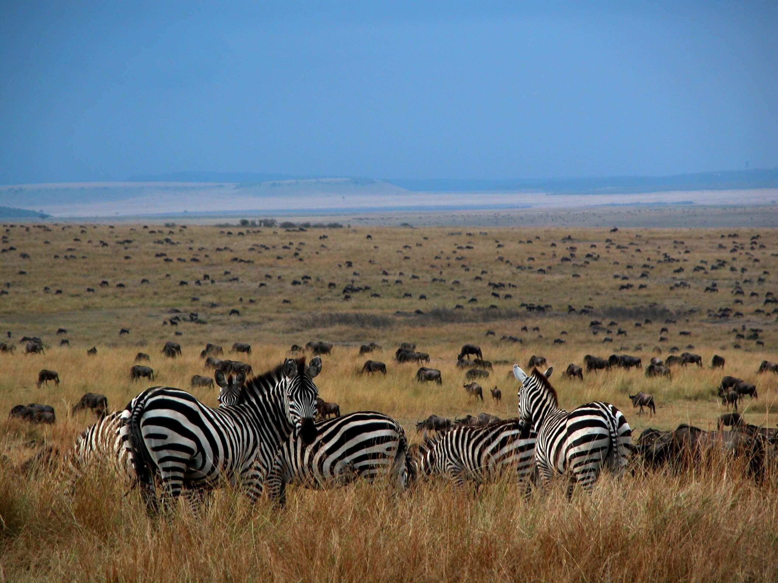 Zebra's kijken uit op Grote Migratie Serengeti Tanzania