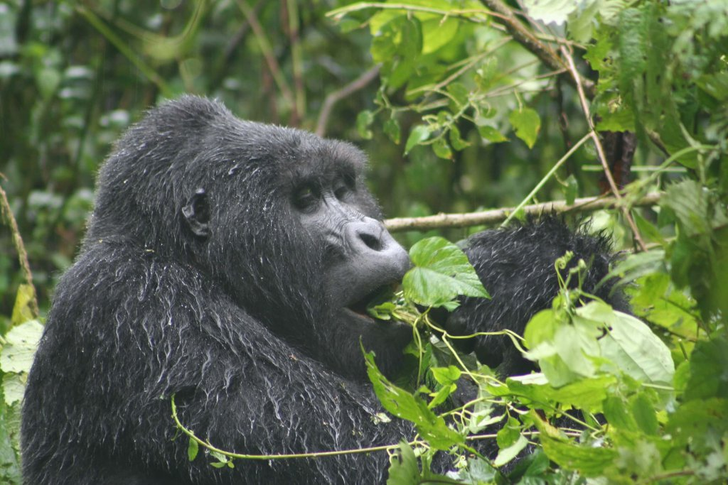 Safari Uganda berggorilla Bwindi Impenetrable National Park