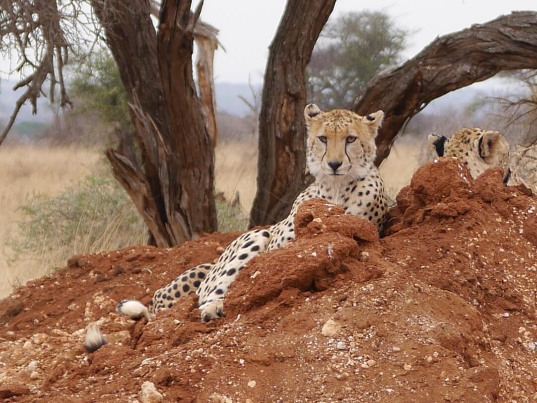 Cheetah op termietenheuvel Tarangire National Park Tanzania