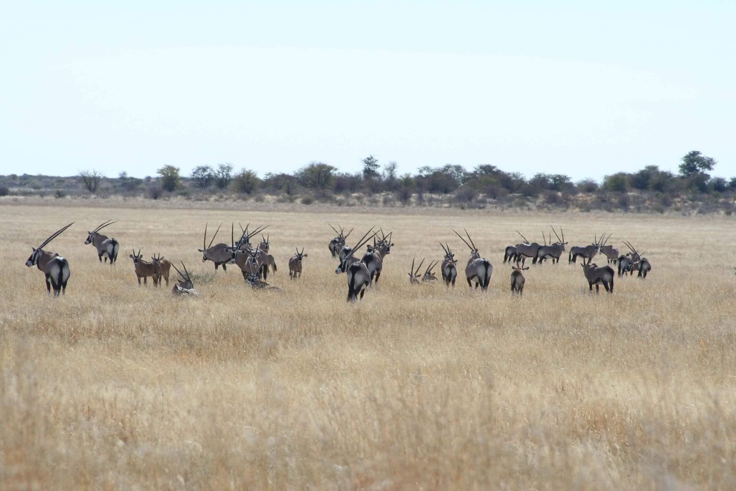 Khutse-Game-Reserve-met-gemsbokken-in-Botswana