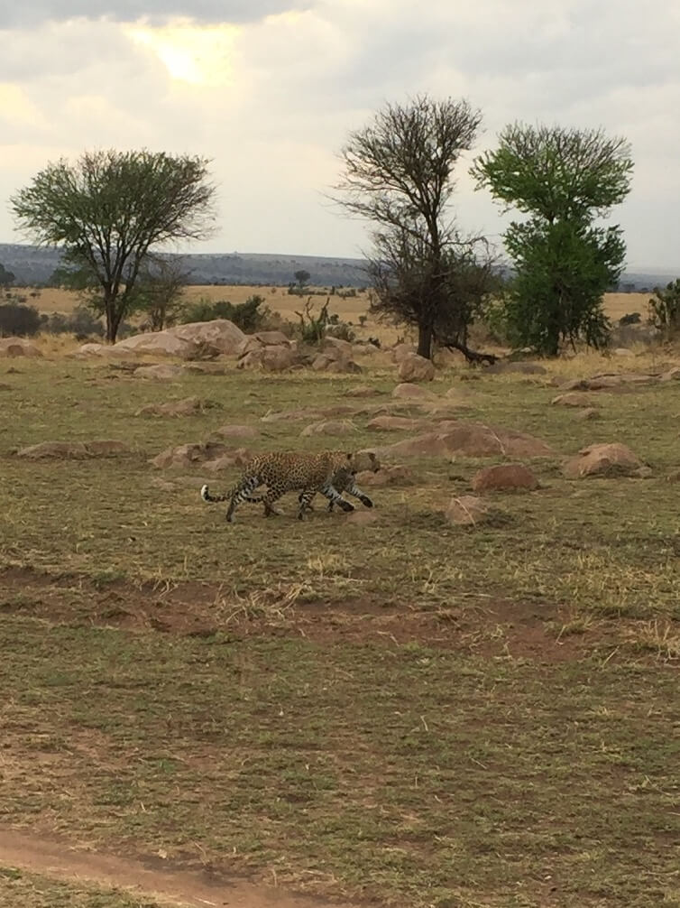 Luipaarden Serengeti National Park Tanzania