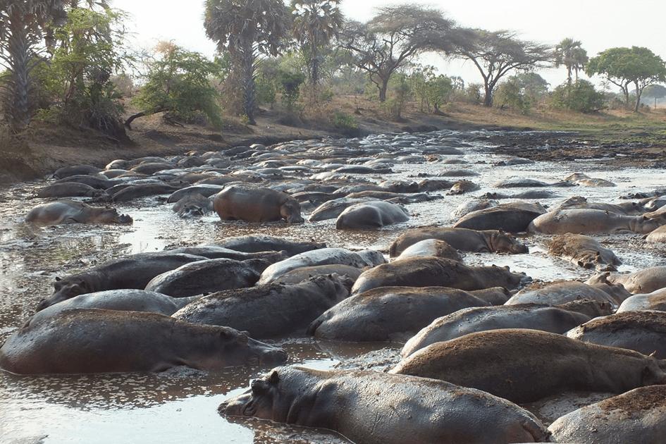 Nijlpaarden in Katavi National Park Tanzania