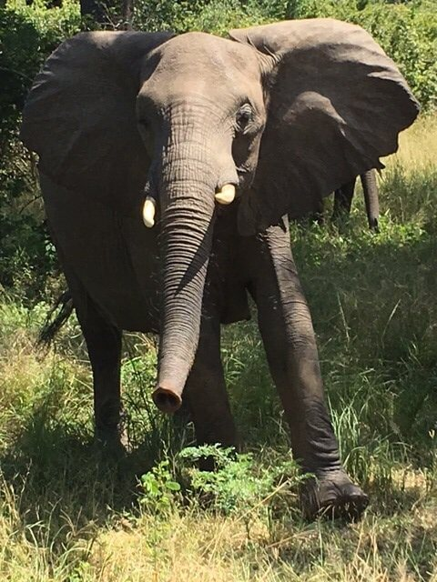 Olifant in South Luangwa National Park Zambia
