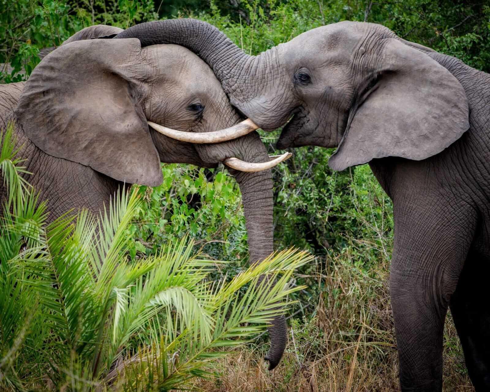 Olifanten bij andBeyond Kirkman's Kamp Zuid-Afrika