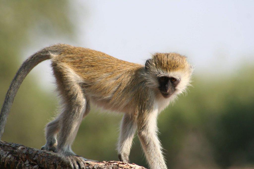 Velvet monkey in Selous Game Reserve Tanzania