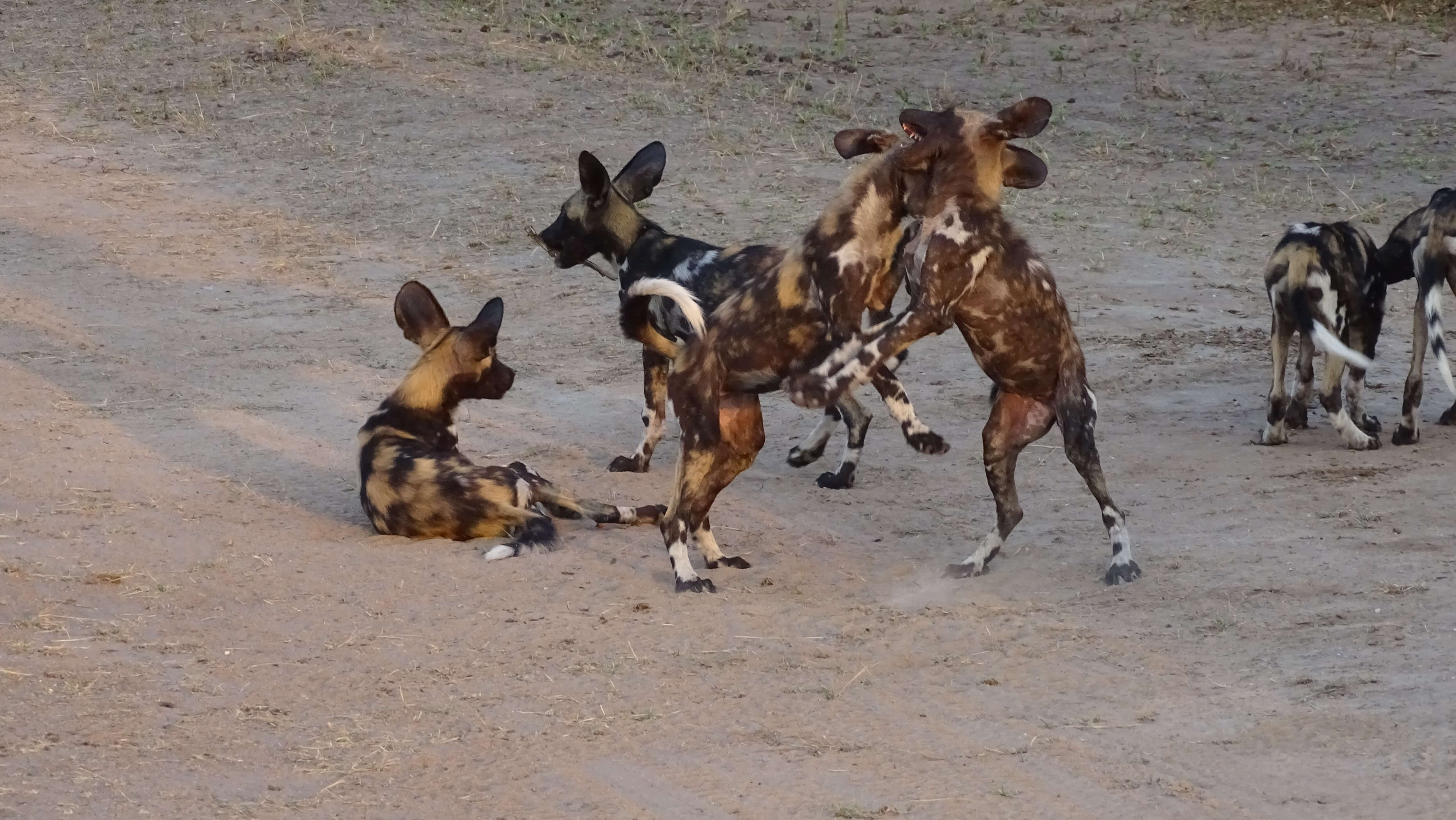 Afrikaanse wilde honden in Selous Game Reserve Tanzania
