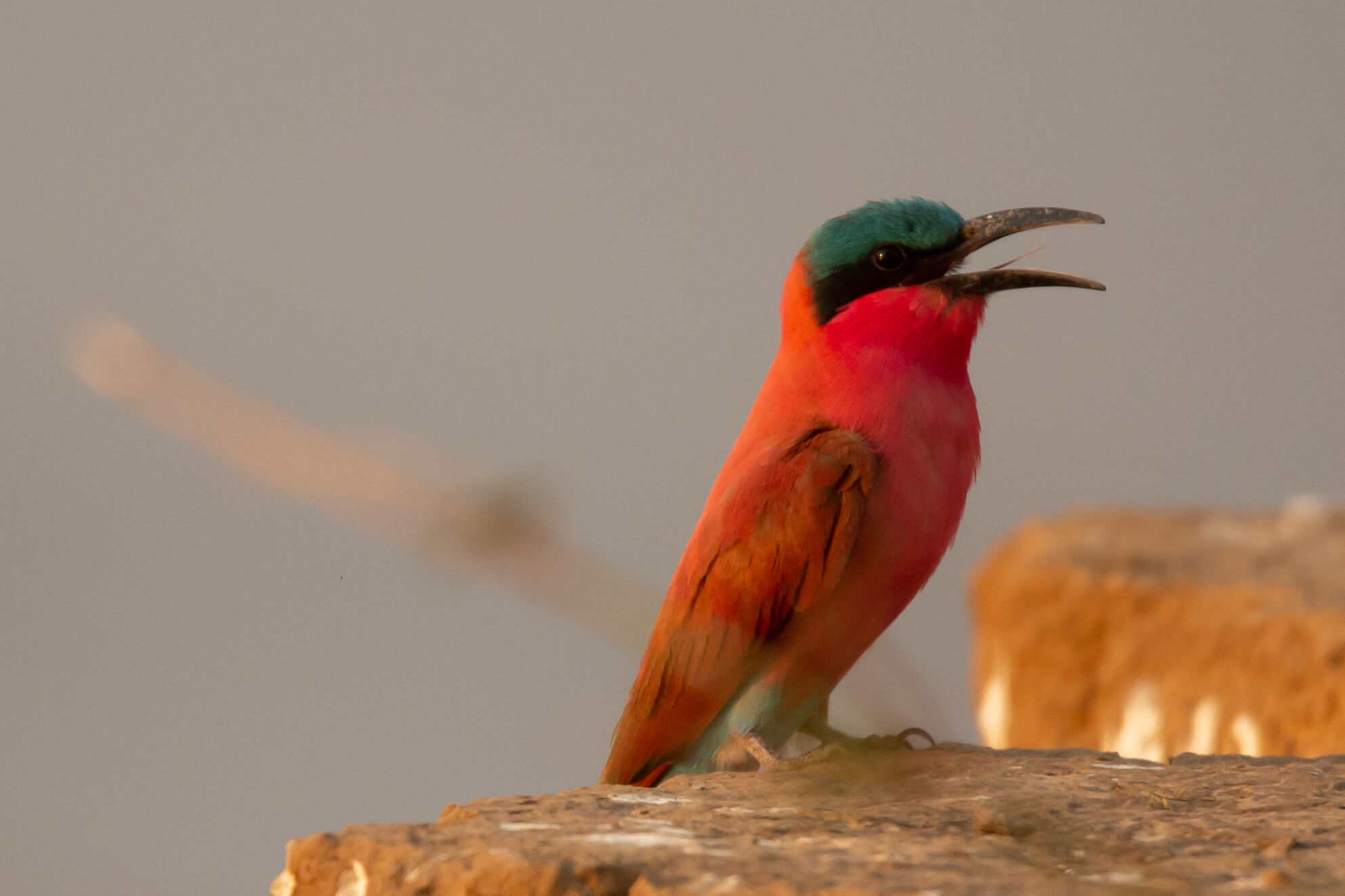 Carmine bee-eater in South Luangwa National Park Zambia