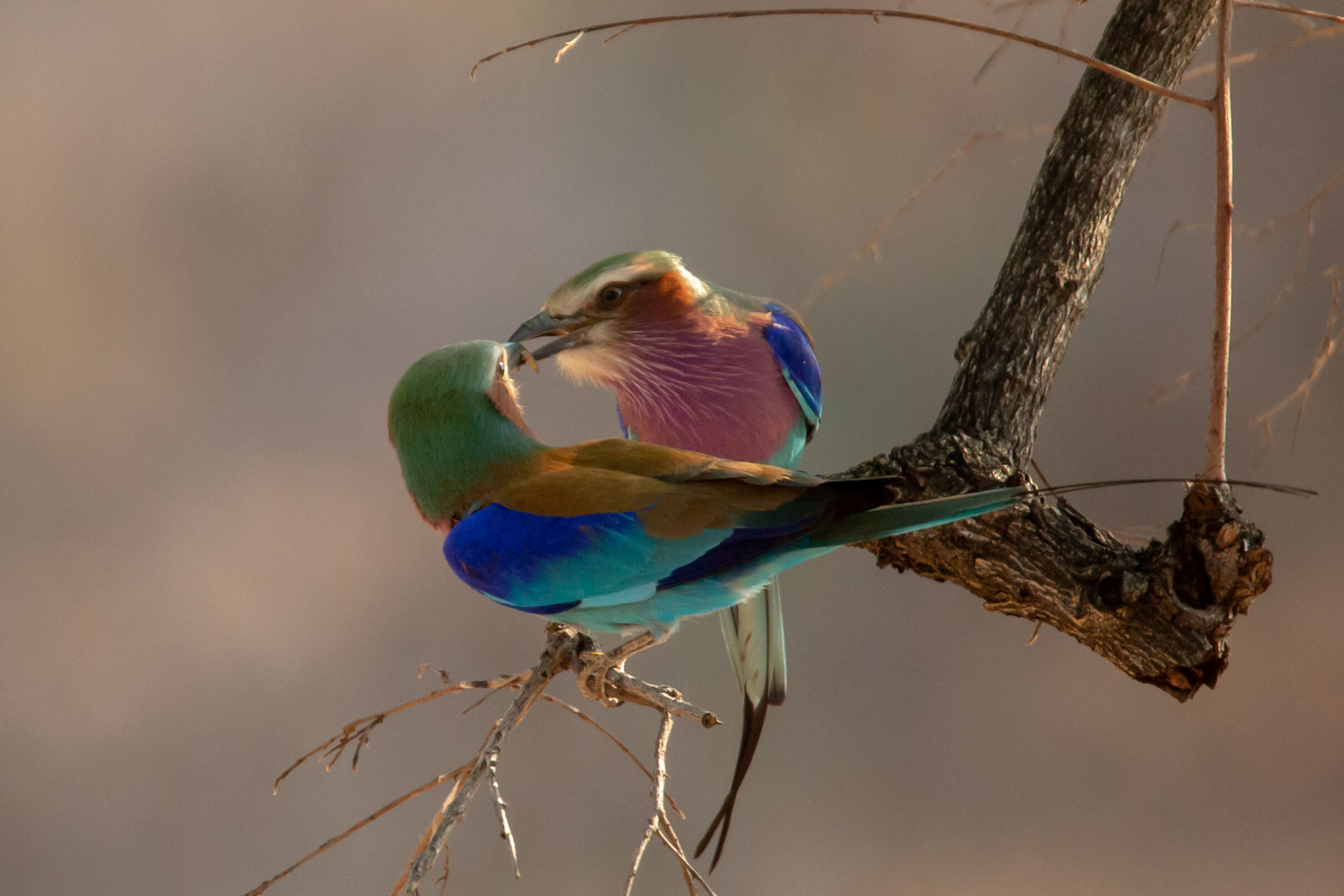 Lilac Breasted Rollers in South Luangwa National Park Zambia