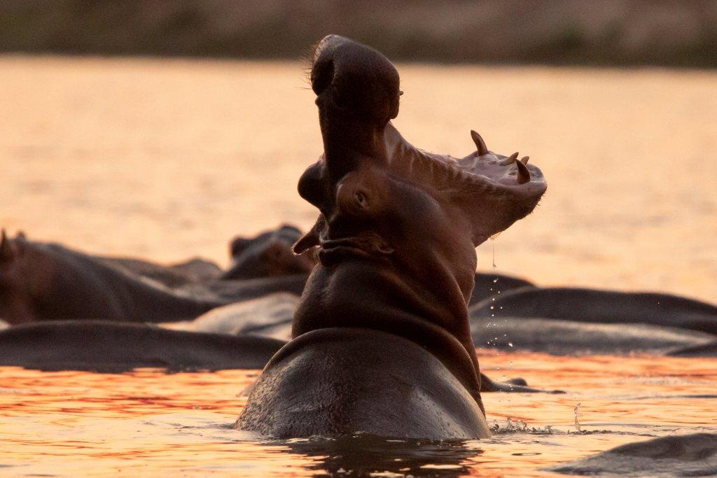 Nijlpaard in Luambe National Park Zambia