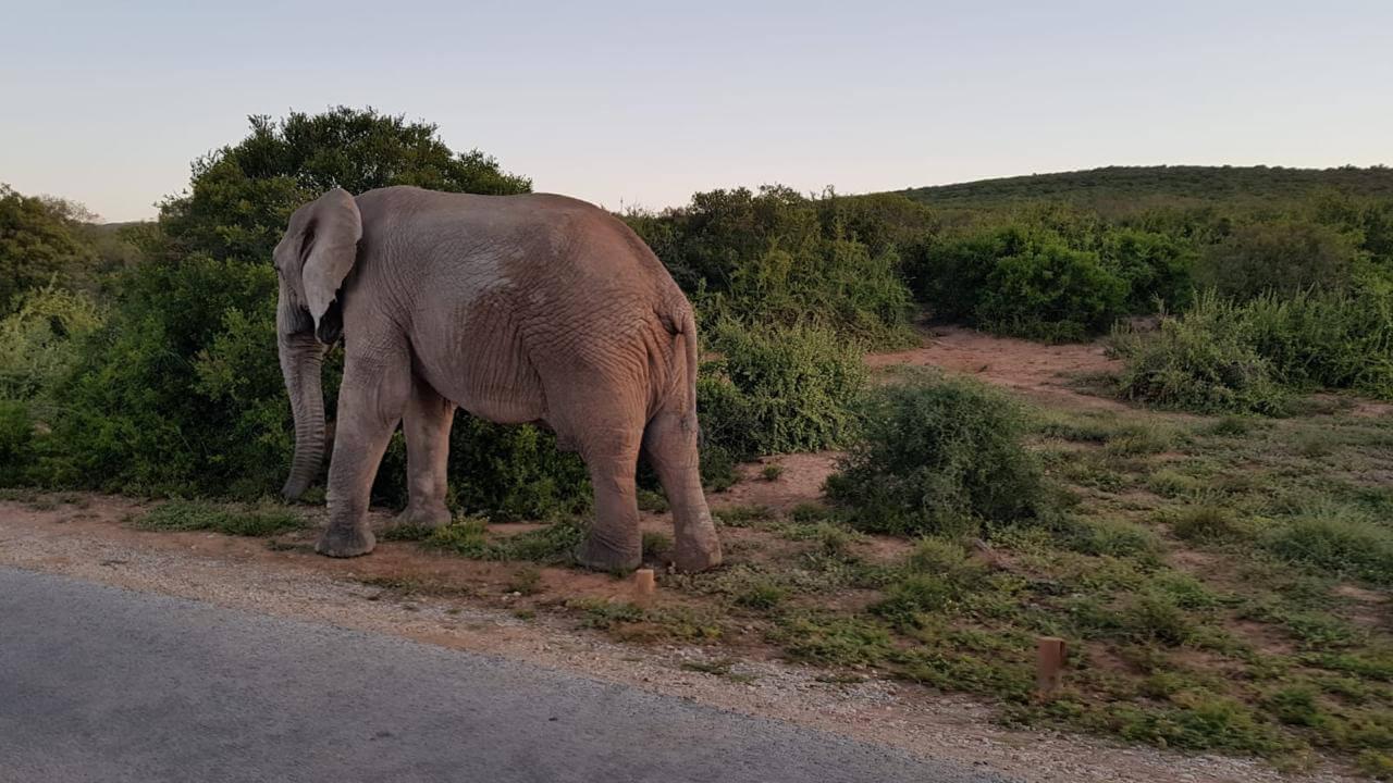 Olifant in Addo Elephant Park Zuid-Afrika