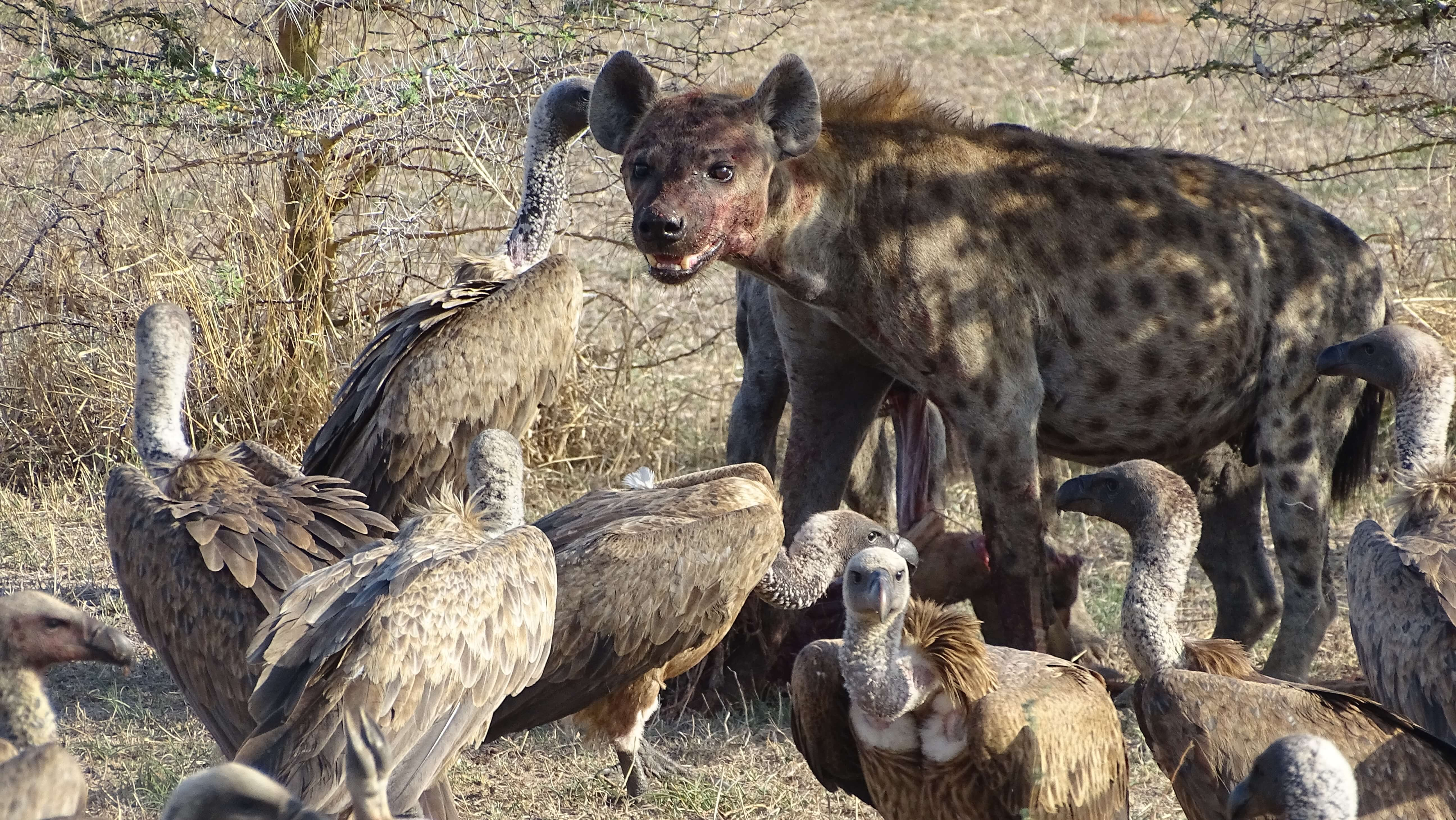 Spotted hyena en gieren in Selous Game Reserve Tanzania