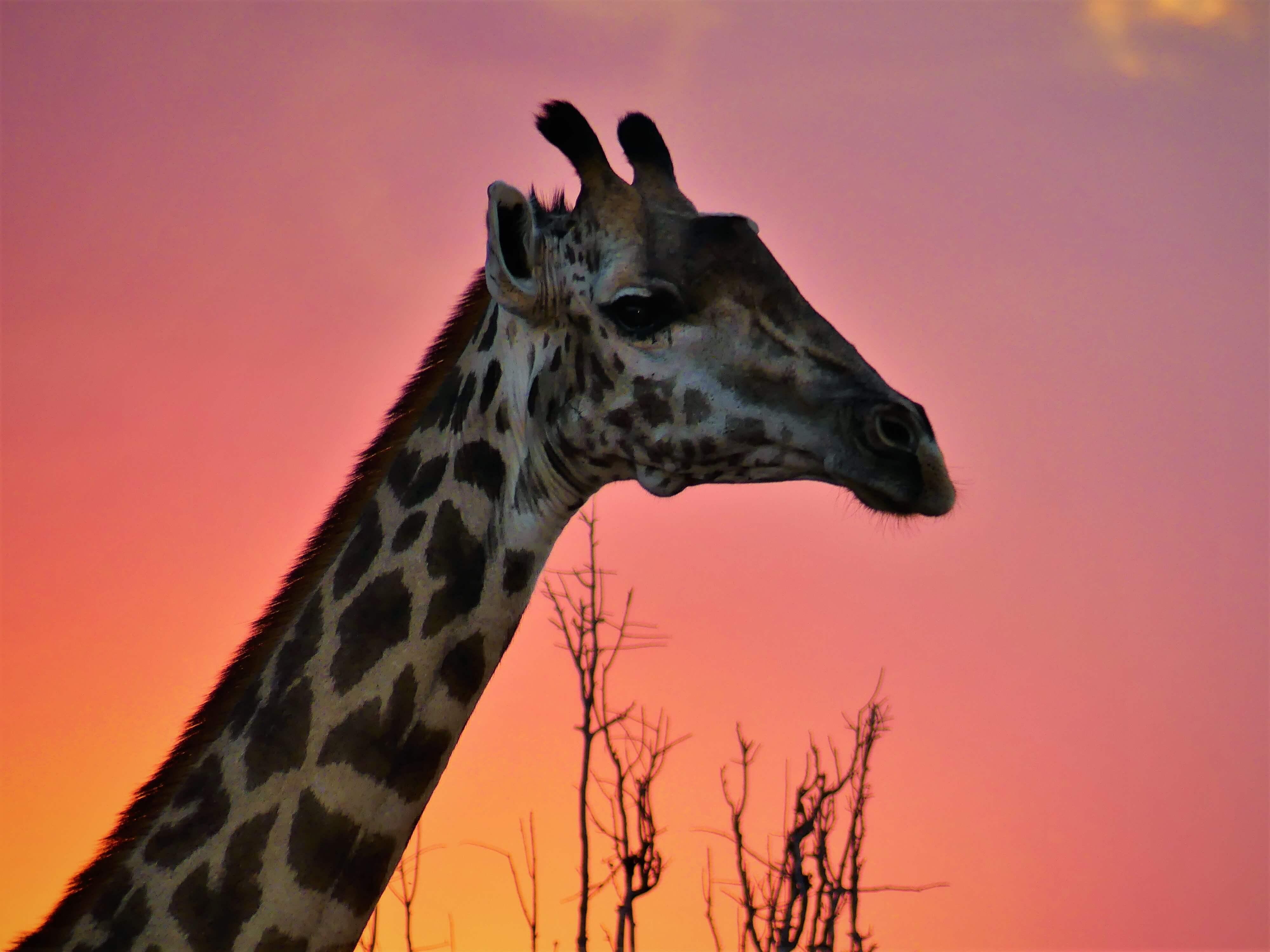 Thornicroft giraffe in South Luangwa National Park Zambia