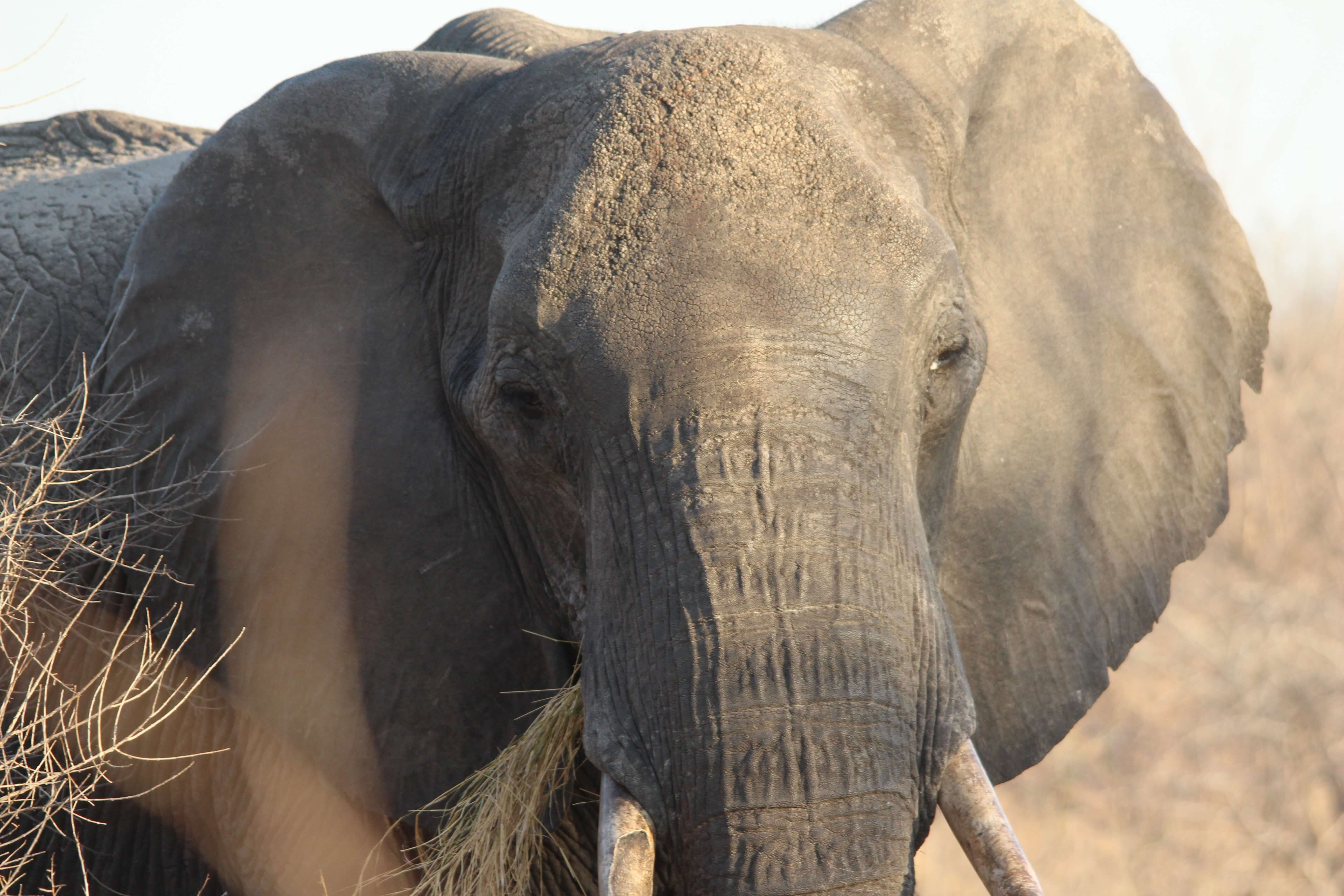 Oog in oog met een olifant, Zimbabwe | Mambulu! Safaris with a Difference