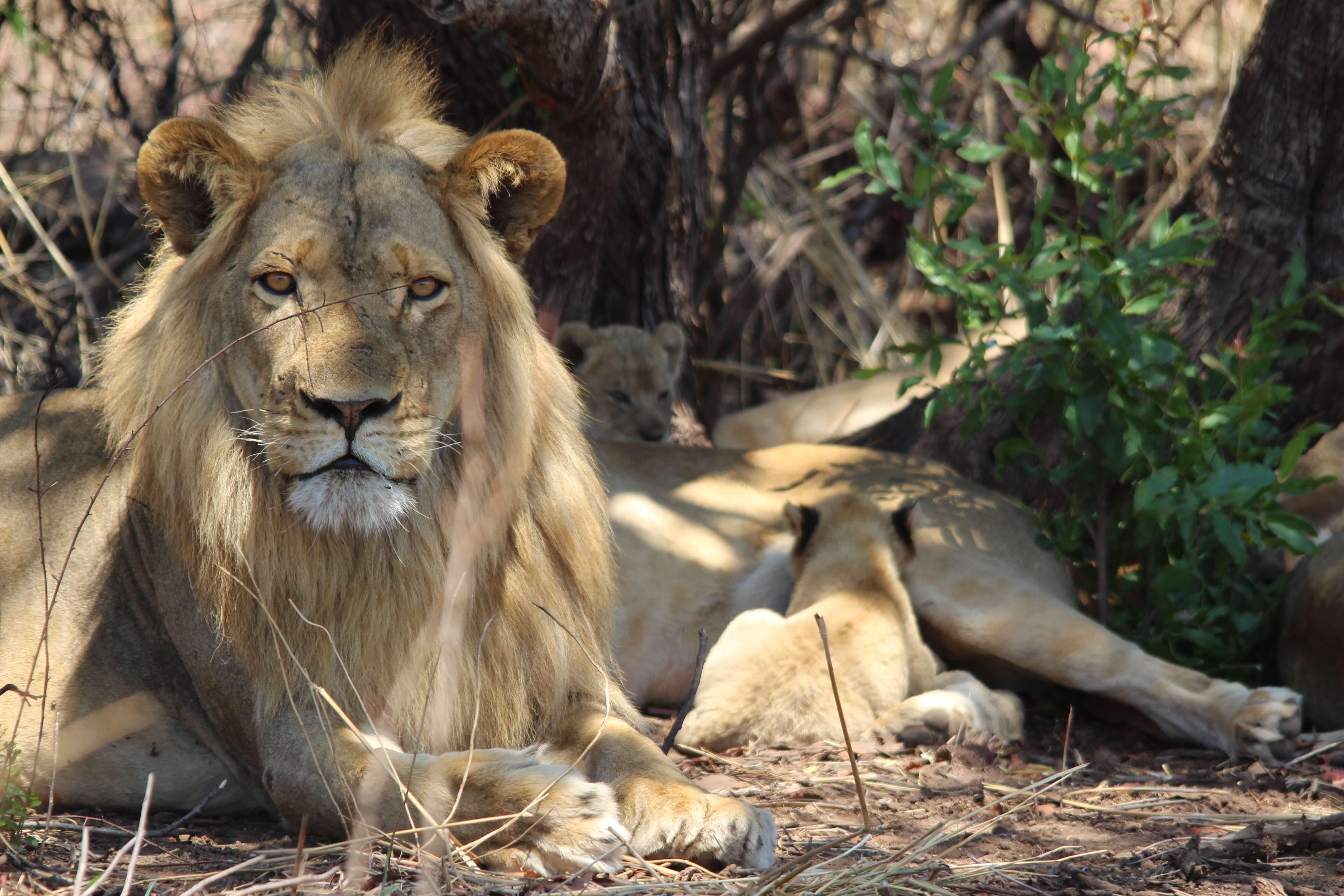 Leeuwen familie in Hwange National Park Zimbabwe
