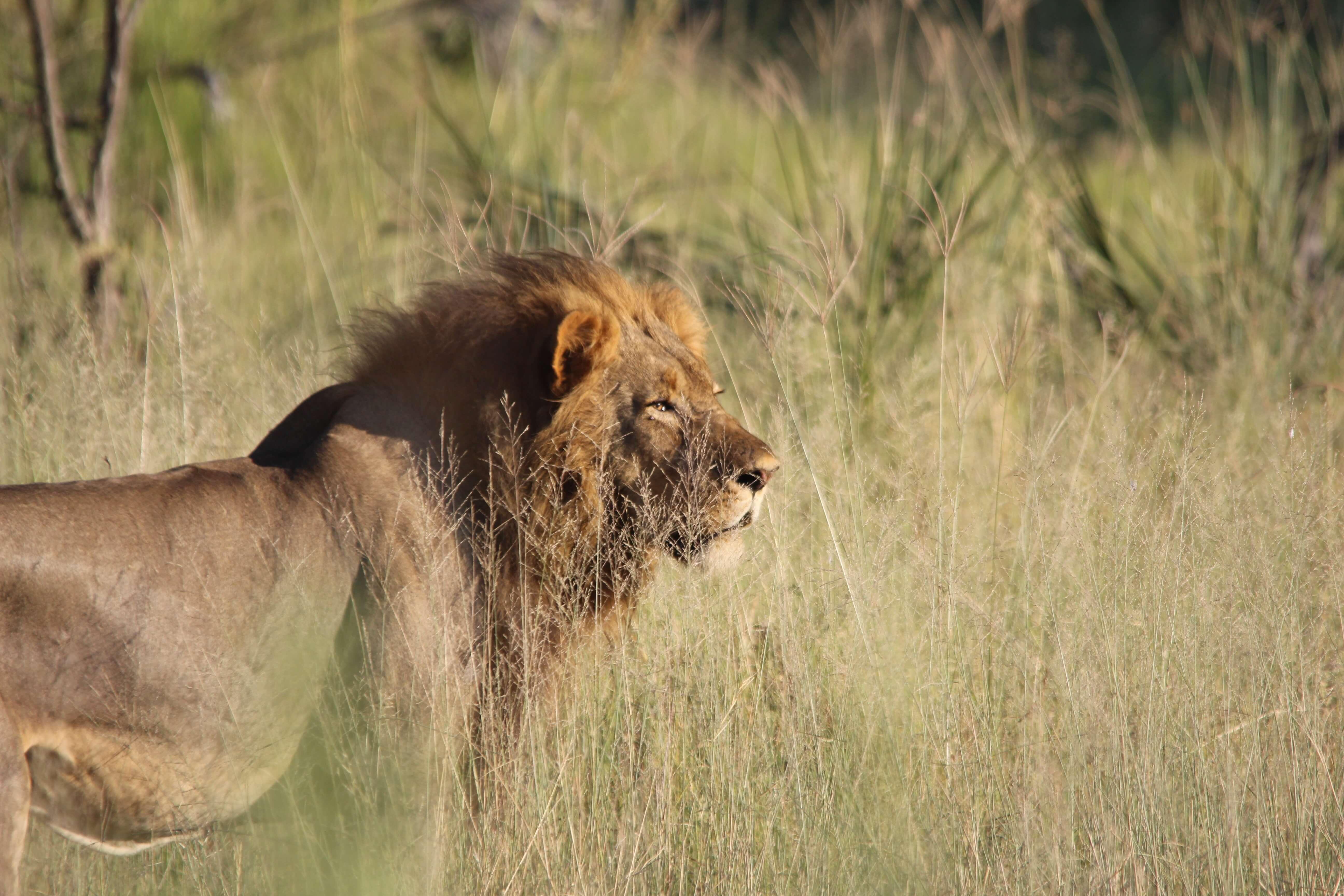 Mannetjes leeuw in de Okavango Delta, Botswana