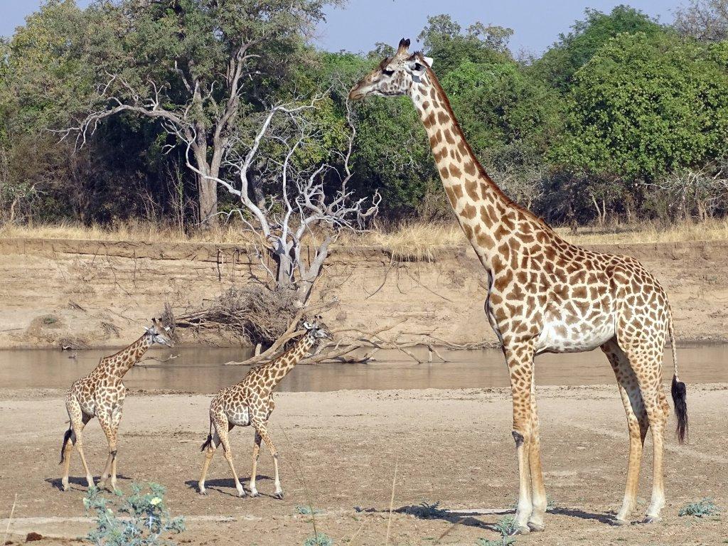 Thornicroft giraffen in South Luangwa National Park Zambia