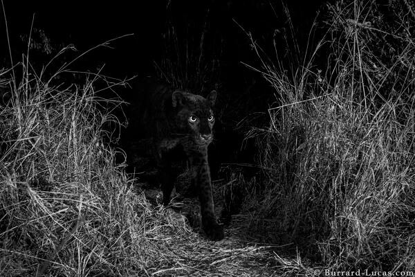 Zwarte Luipaard - Will BurrardLucas