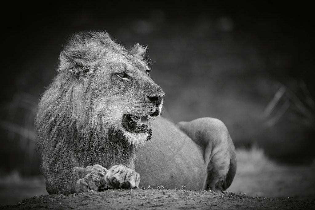 Zwart wit leeuw in South Luangwa National Park Zambia