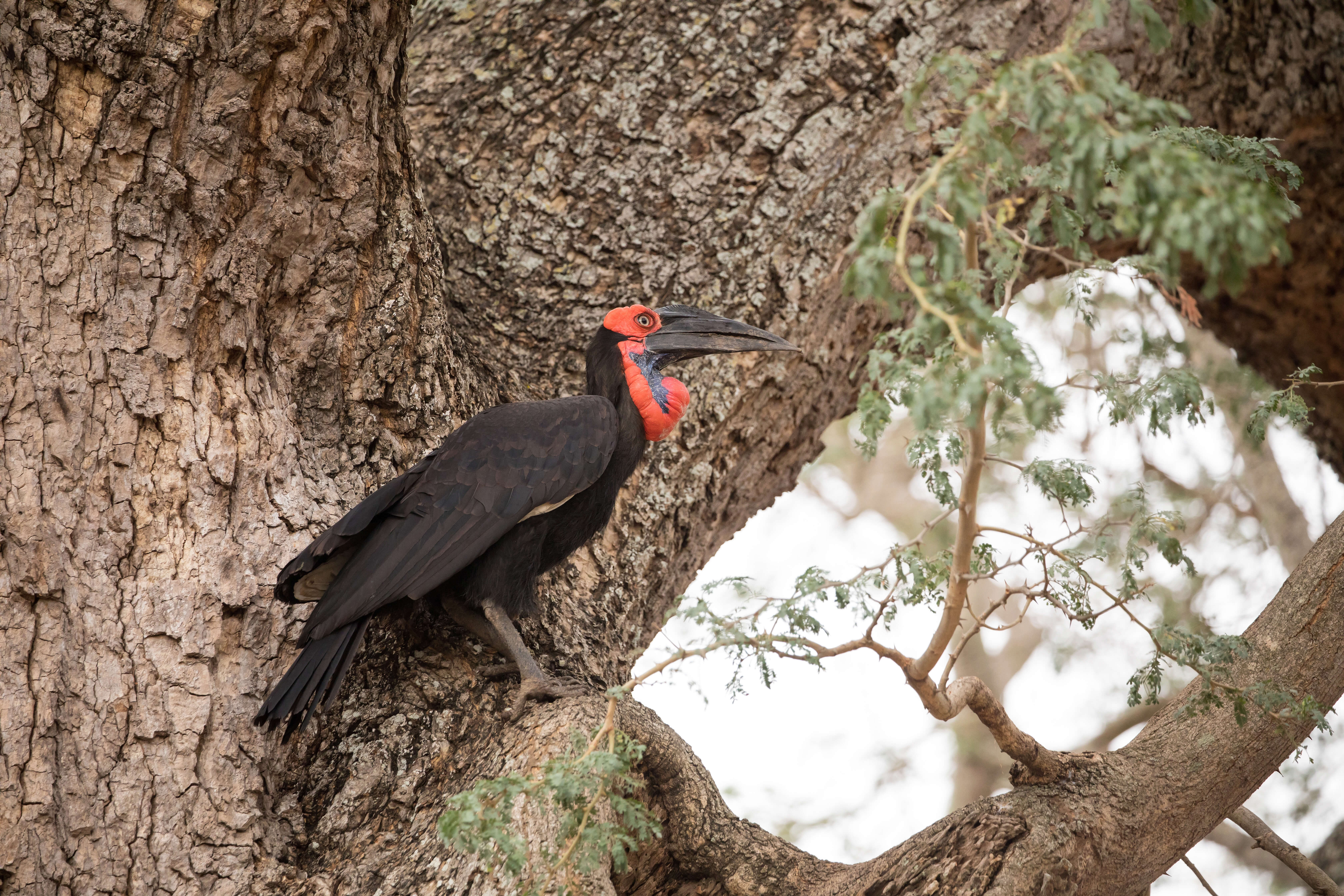Ground Hornbill in South Luangwa National Park Zambia
