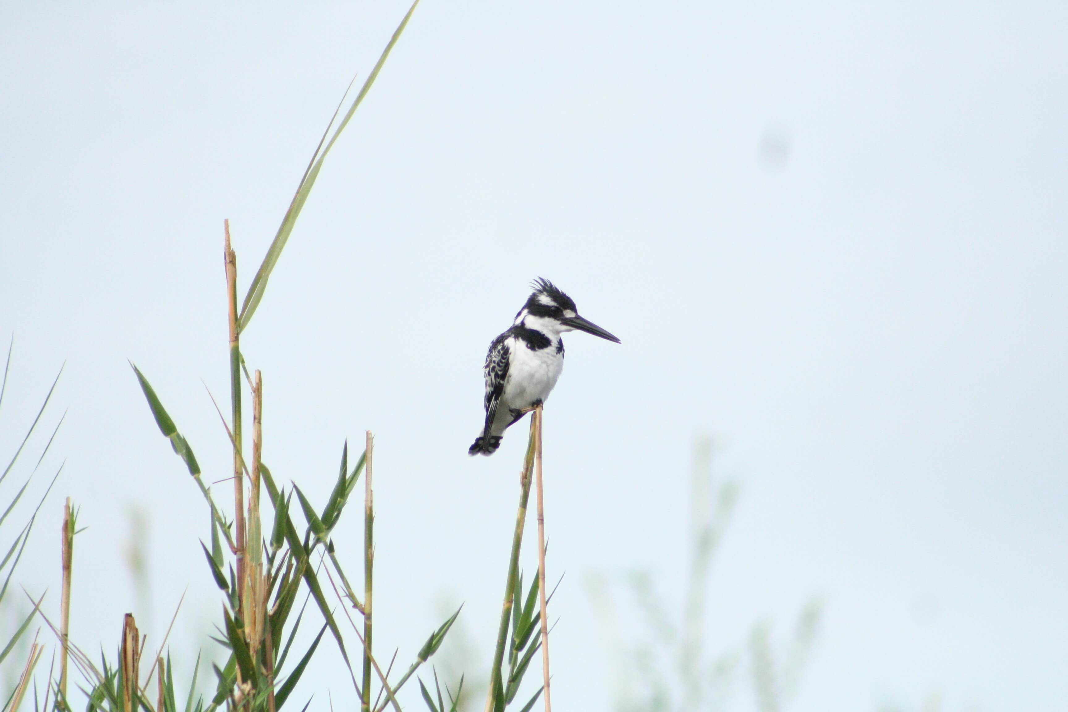 Pied Kingfisher in Liwonde National Park - Mambulu! Safaris with a Difference