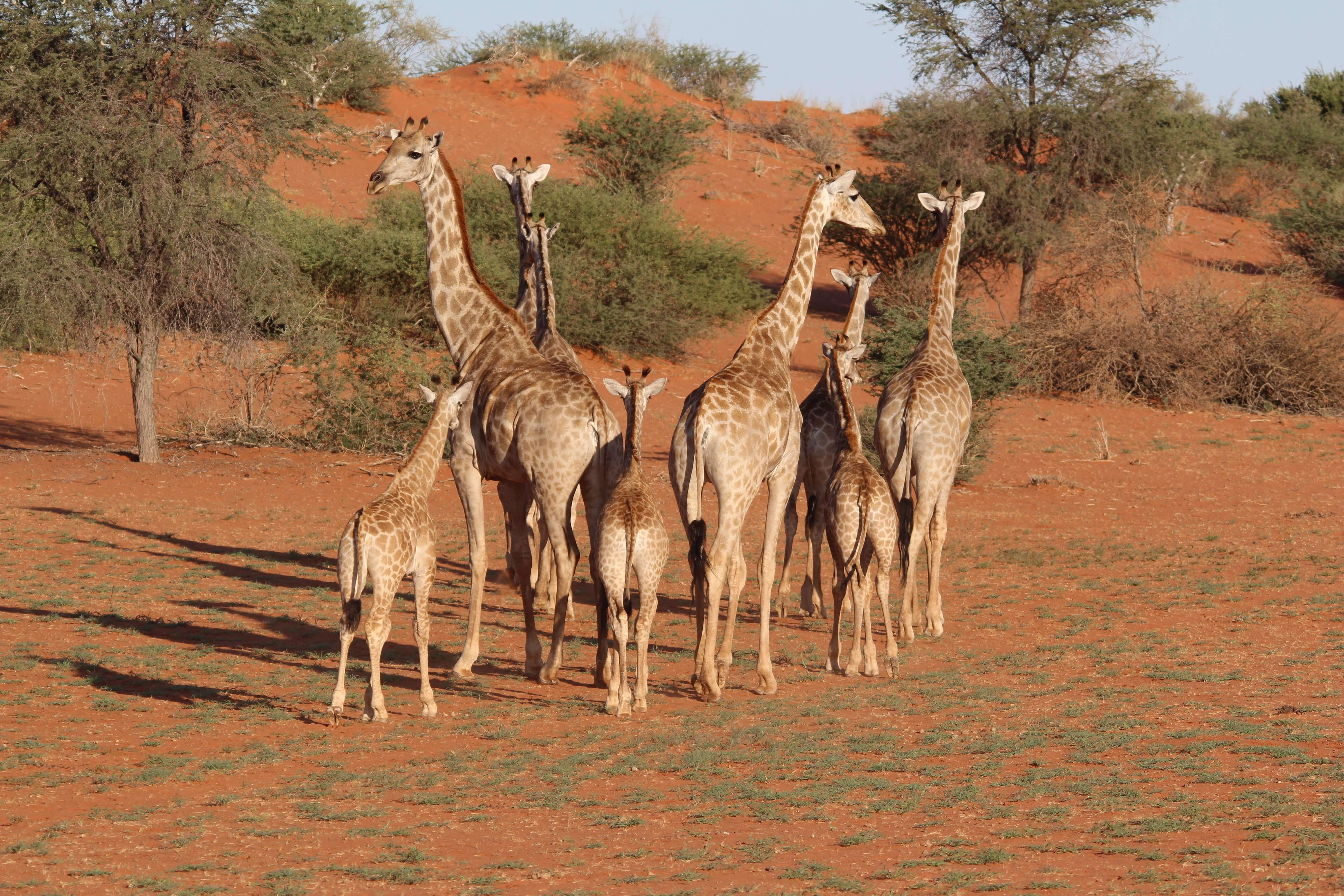 Giraffen in Kalahari Desert Namibië