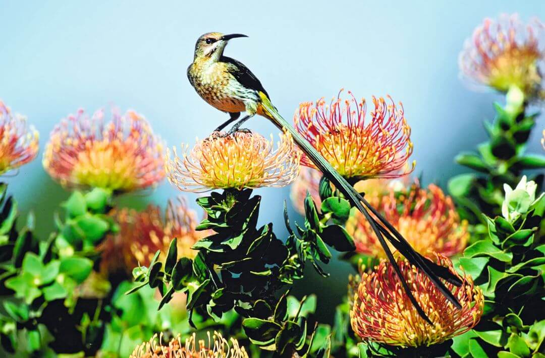 Cape Sugarbird Zuid-Afrika