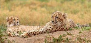 Cheetahs in Amakhala Game Reserve Zuid-Afrika