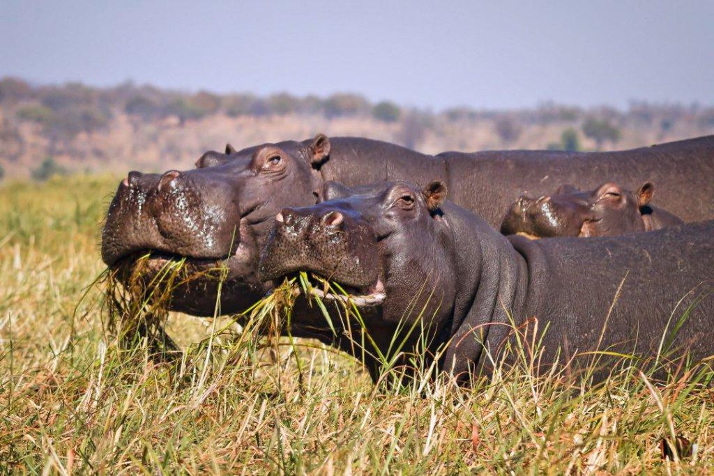 Hippo's Chobe, Botswana