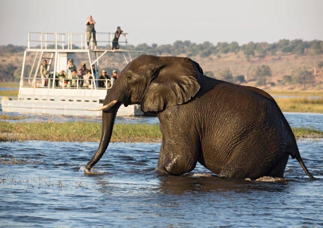 Olifant in Chobe rivier Botswana