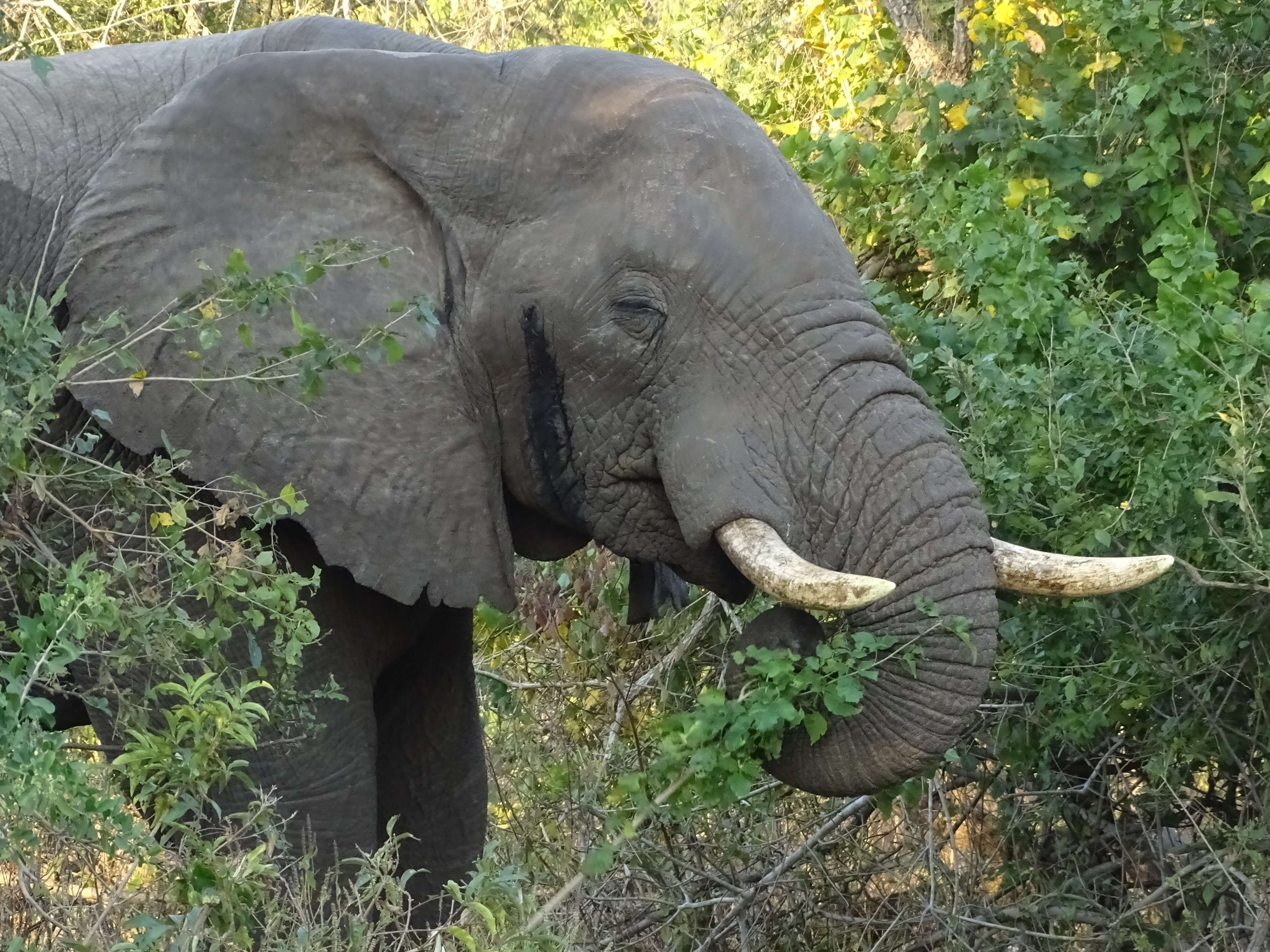 Olifant in Majete Wildlife Reserve Malawi
