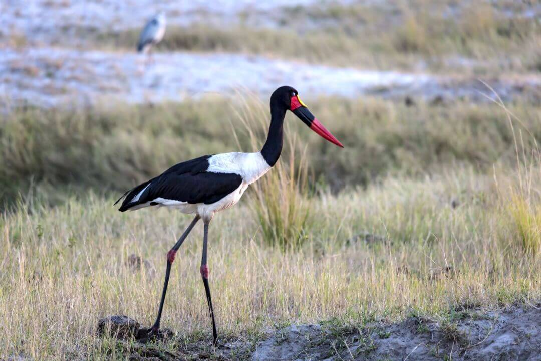 Saddle Billed Stork in Botswana