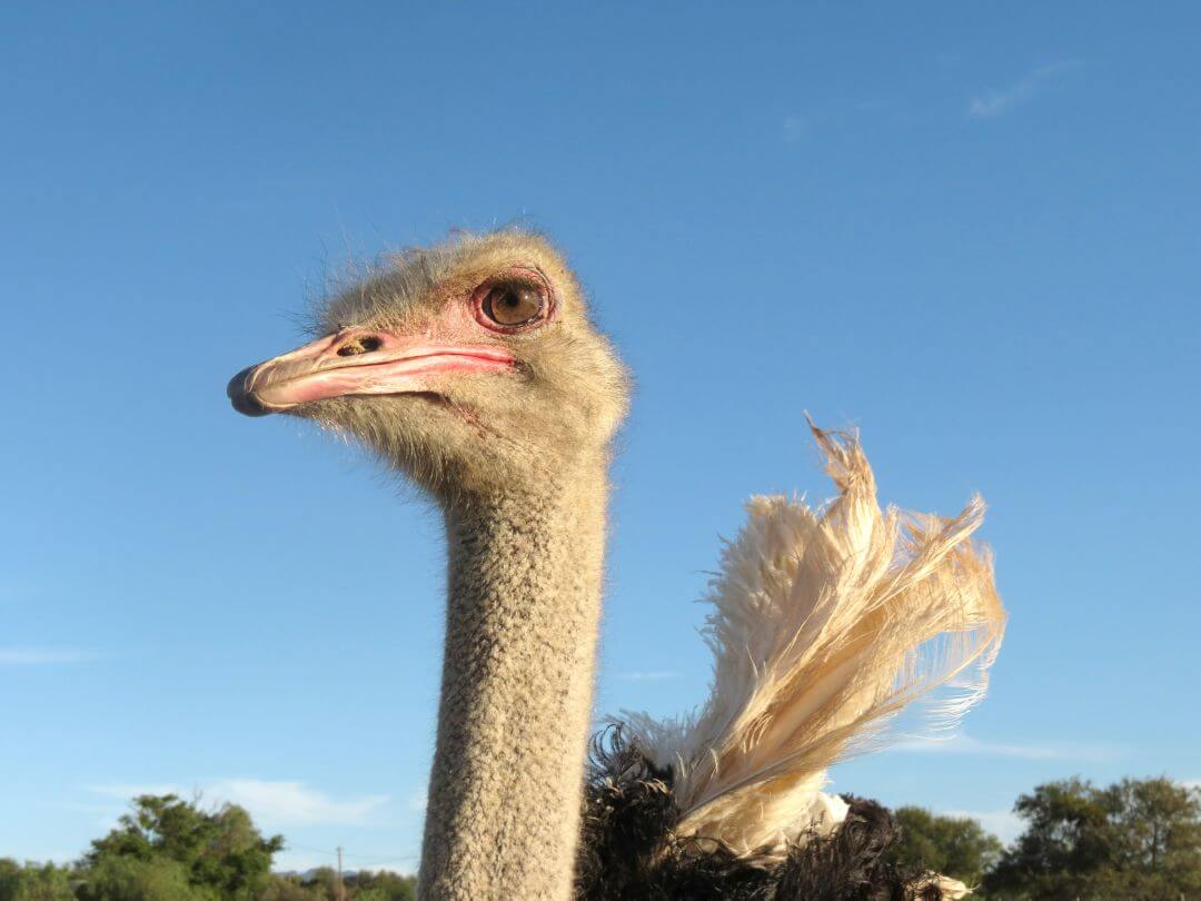 Struisvogel portret bij Oudtshoorn