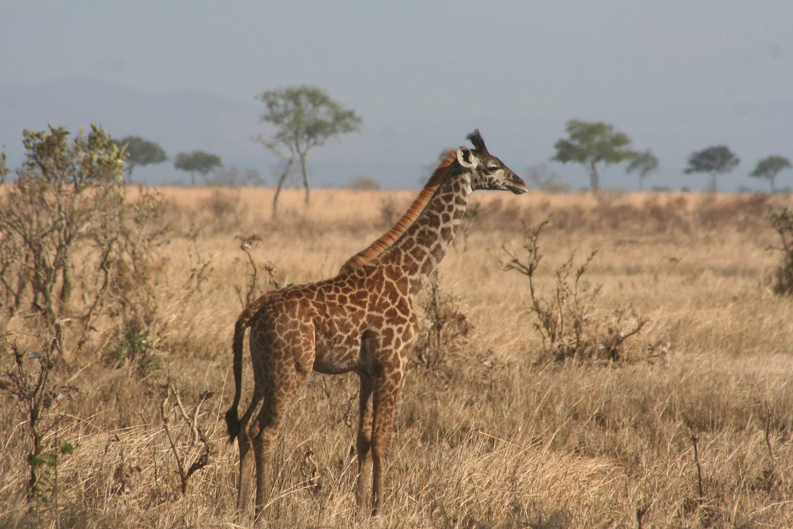 Selous Game Reserve, Jonge giraffe, Tanzania