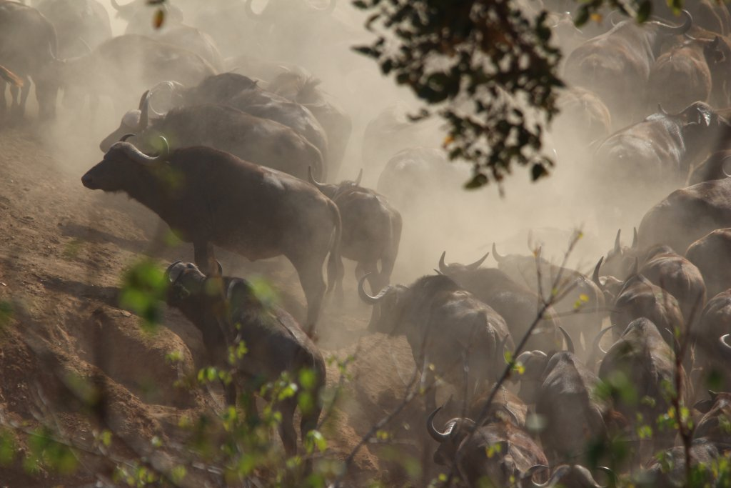 Buffels in Kruger National Park - Zuid-Afrika | Mambulu! Safaris with a Difference