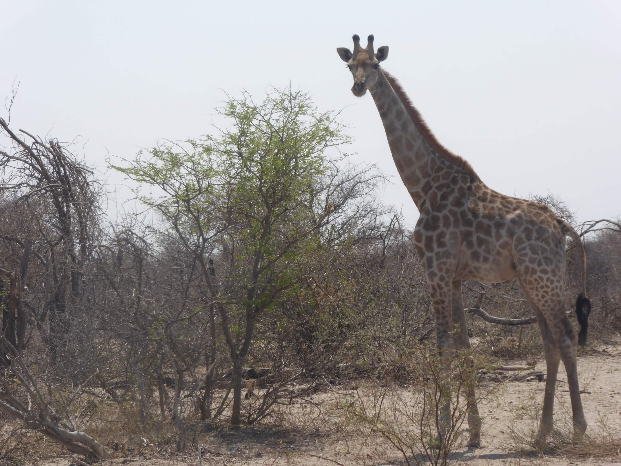 Makgadigadi National Park giraf