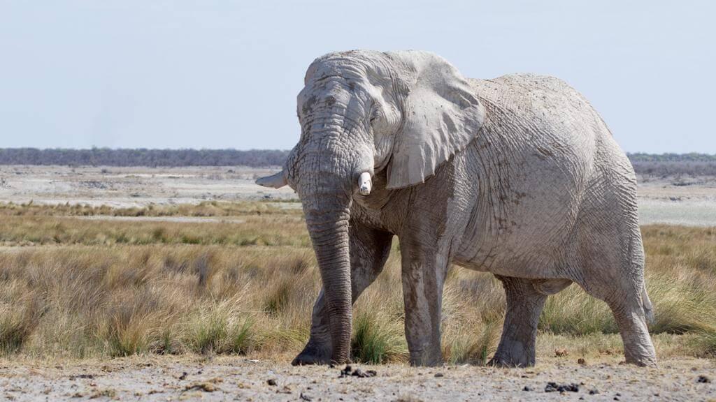 Olifant in Etosha National Park Namibië