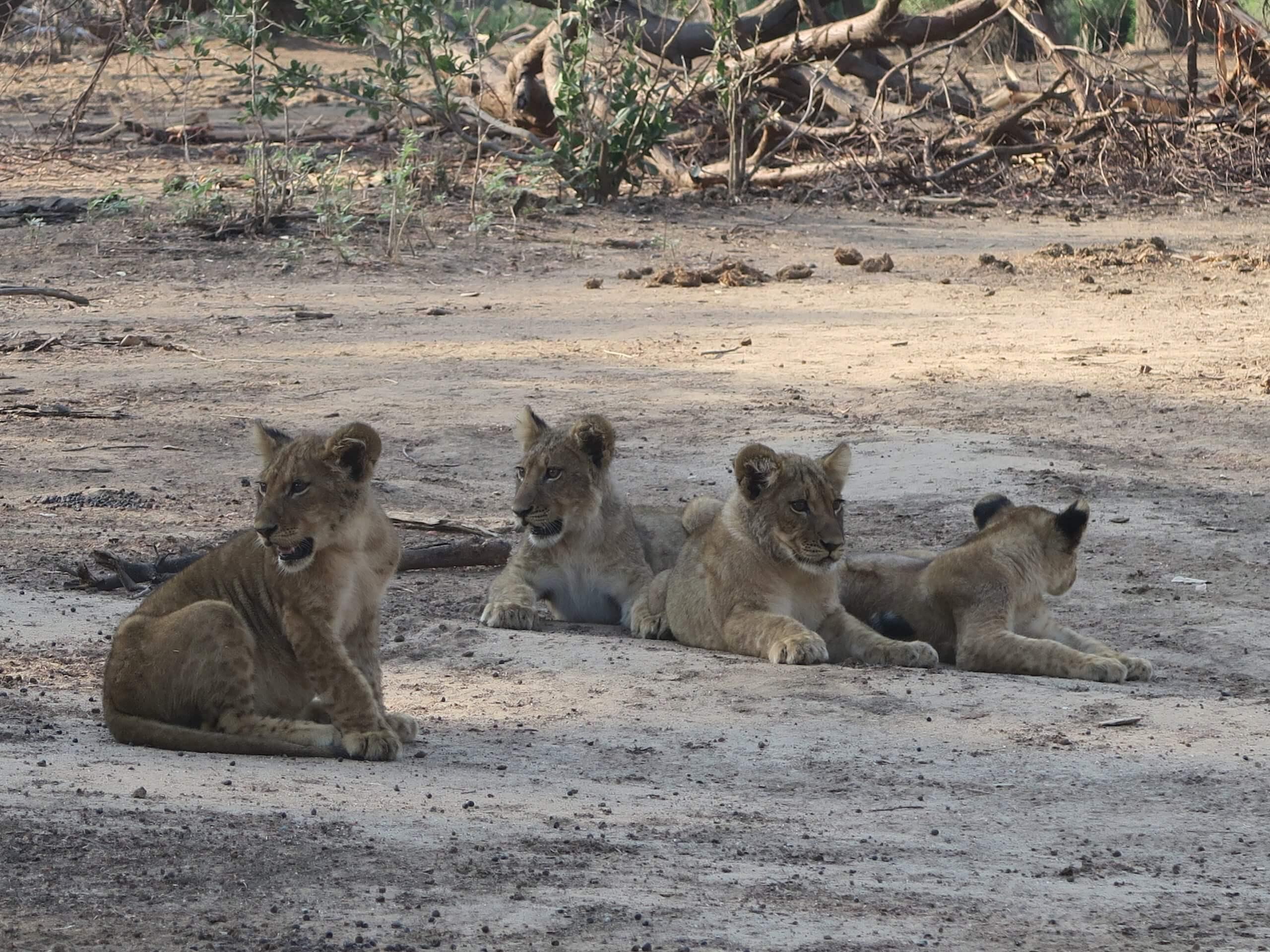 Lower Zambezi National Park leeuwen welpjes