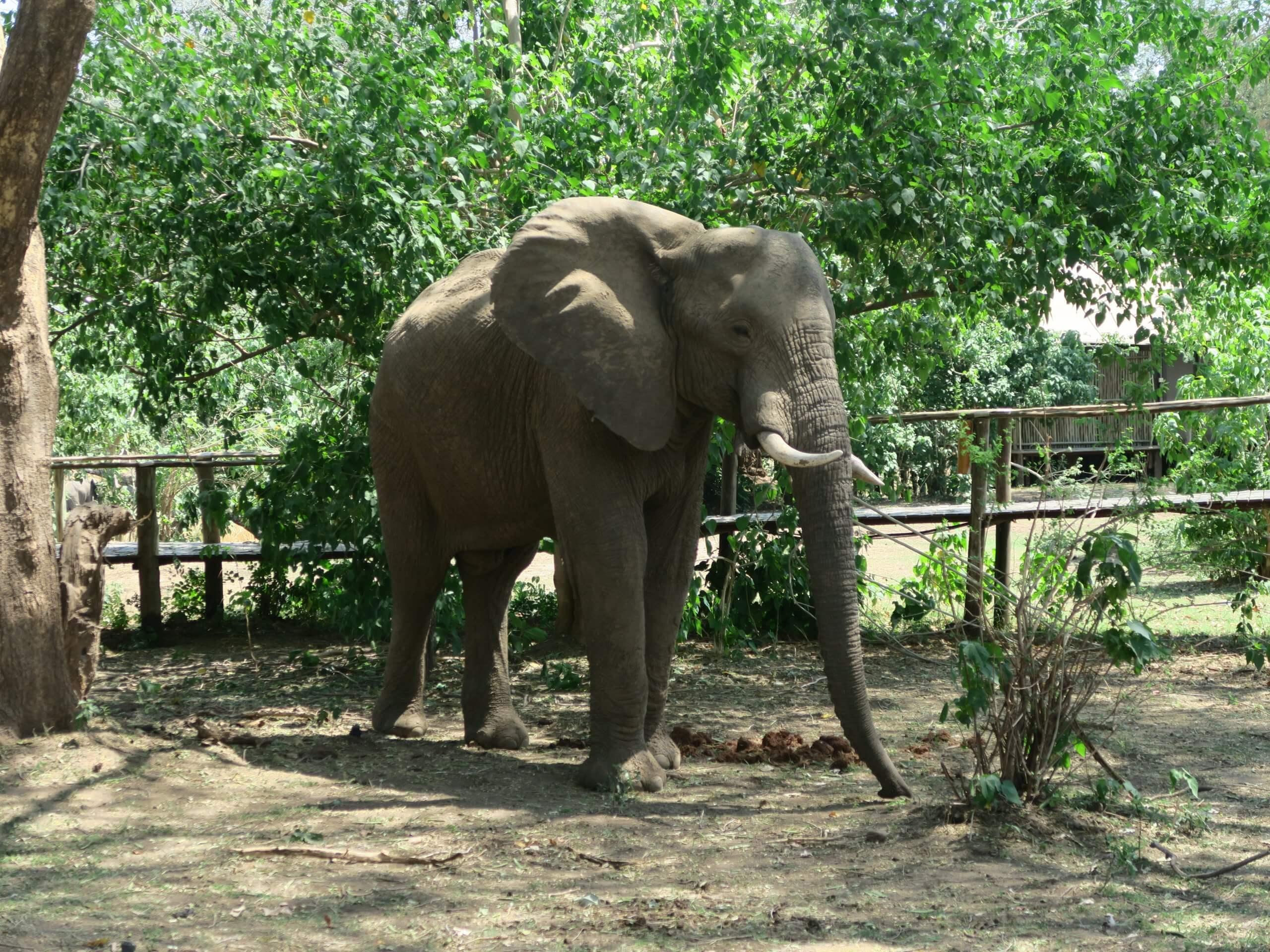 Lower Zambezi National Park olifant in de lodge