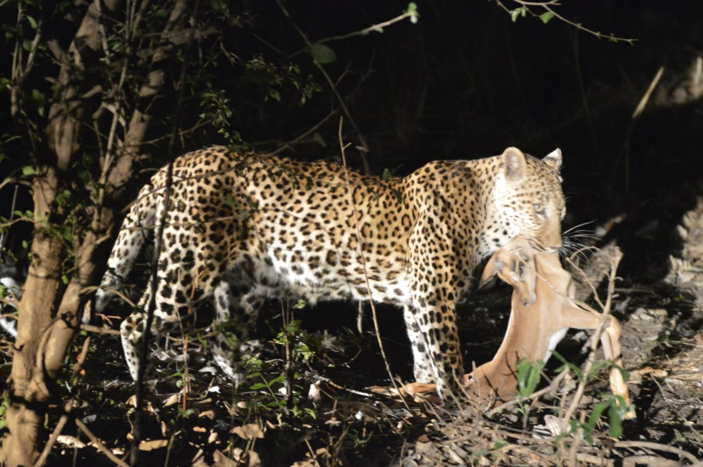 Luipaard met kill in South Luangwa National Park Zambia