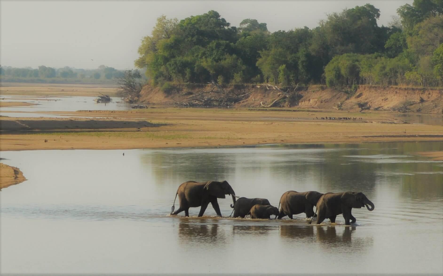 Olifanten steken Luangwa rivier in Zambia over