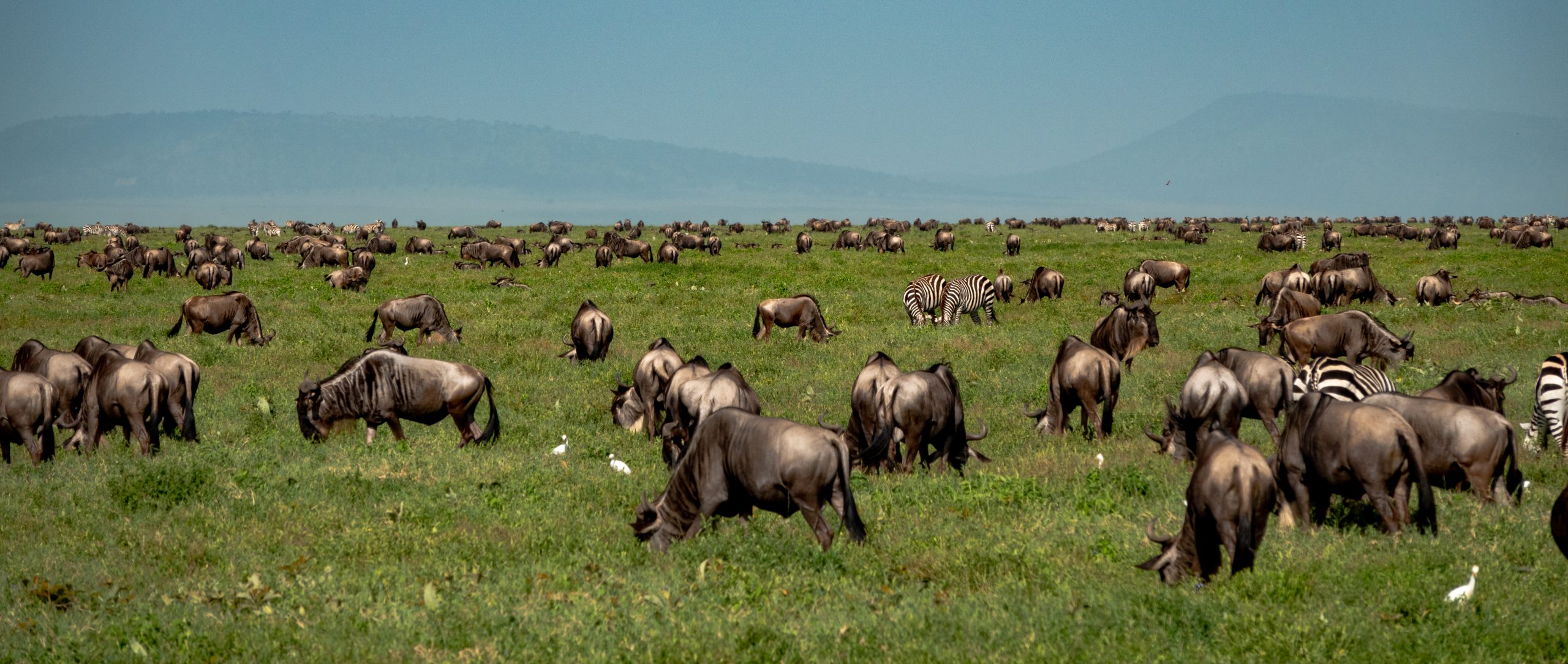 Grote migratie in Serengeti National Park Tanzania