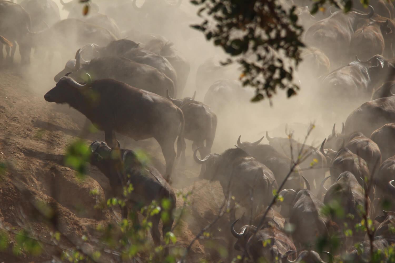 Kruger National Park, groep buffels, Zuid-Afrika