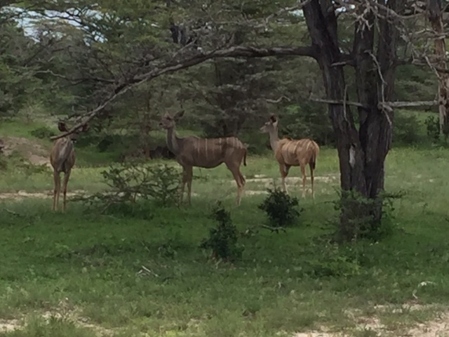 Kudu's in Selous Game Reserve Tanzania