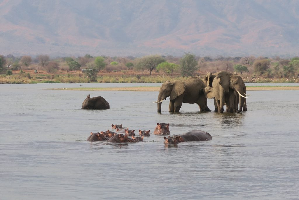 Lower Zambezi, Olifanten en Nijlpaarden in de rivier, Zambia