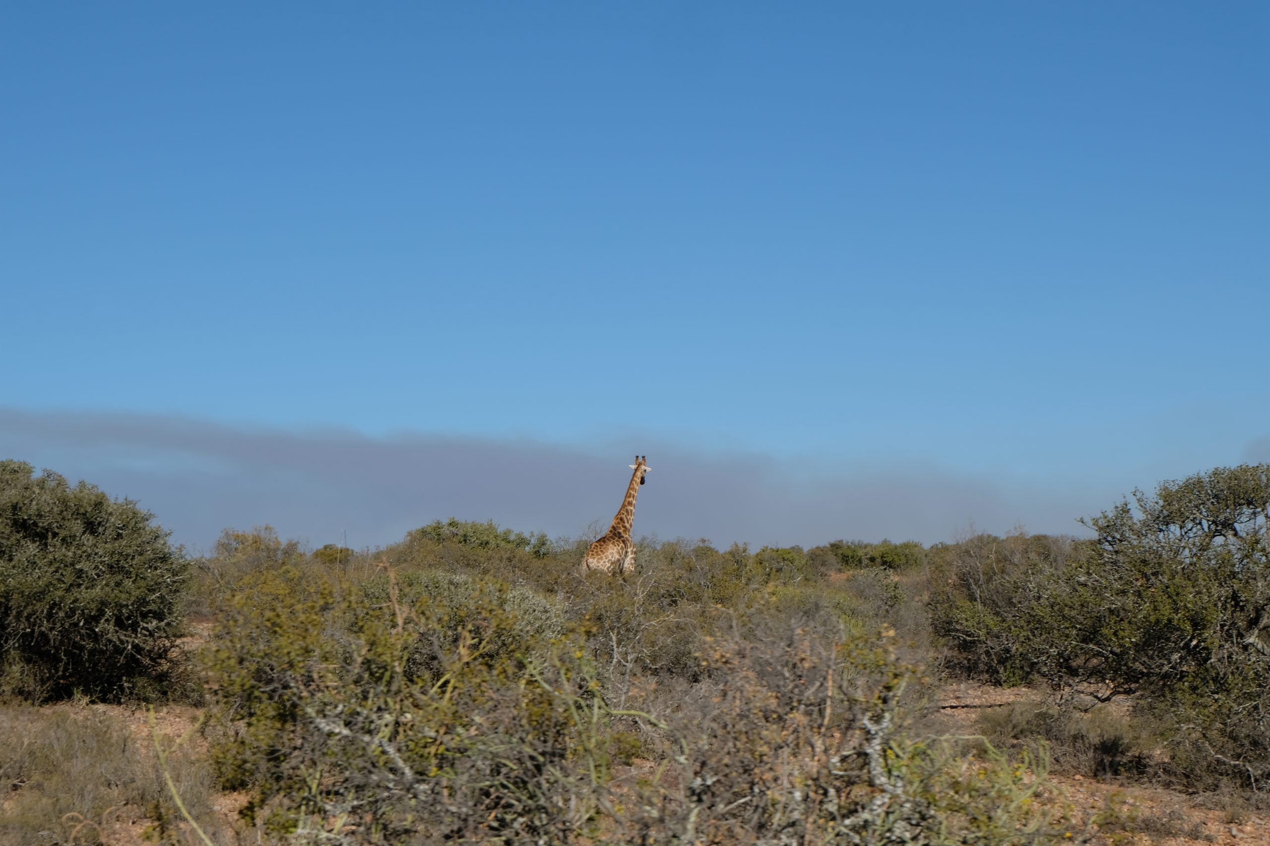 Oudtshoorn, Buffelsdrift, Zuid-Afrika