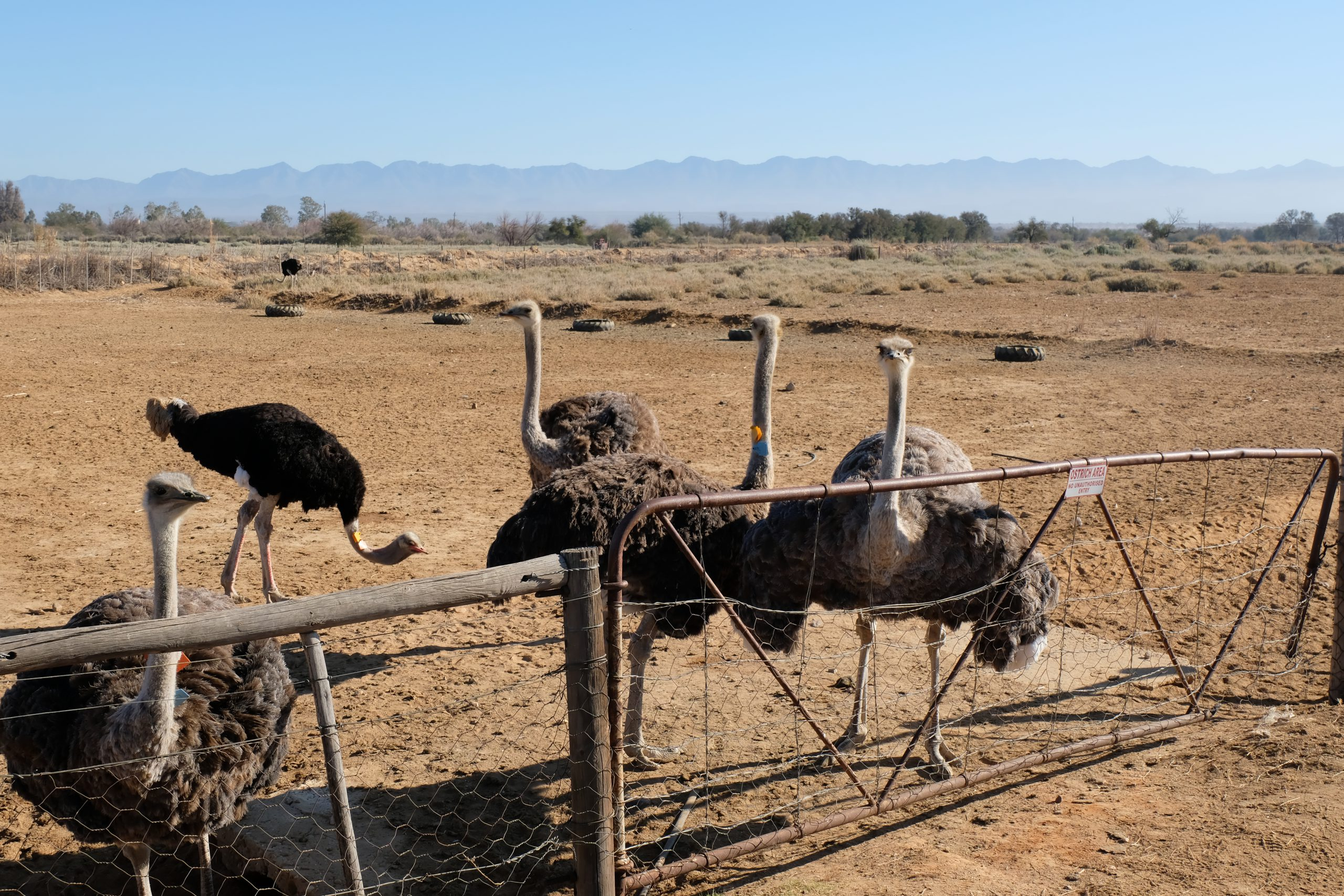 Oudtshoorn, Struisvogels, Zuid-Afrika