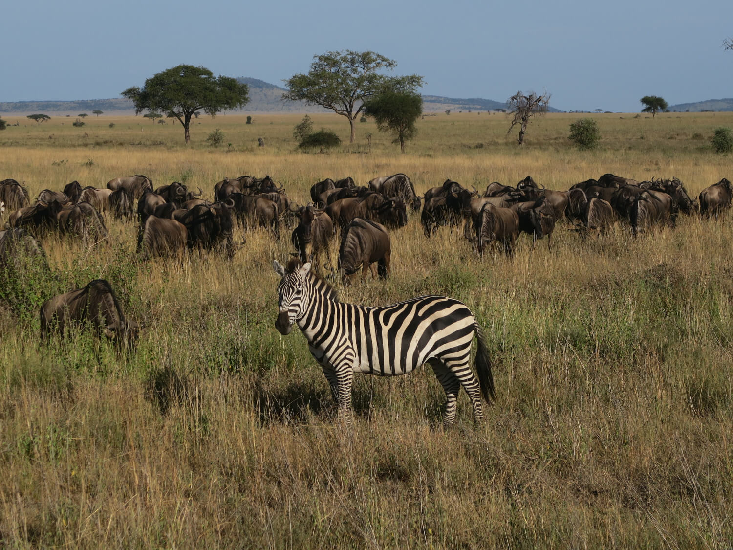 Serengeti National Park, Zebra's en Gnoes, Tanzania