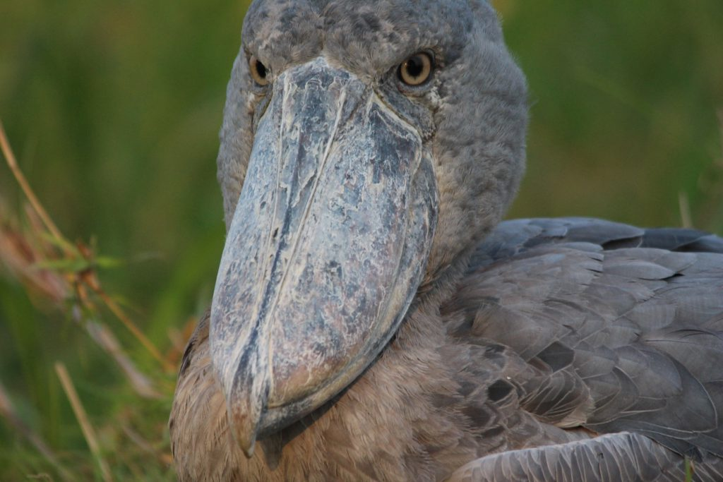 Shoebill Vogel Close-up