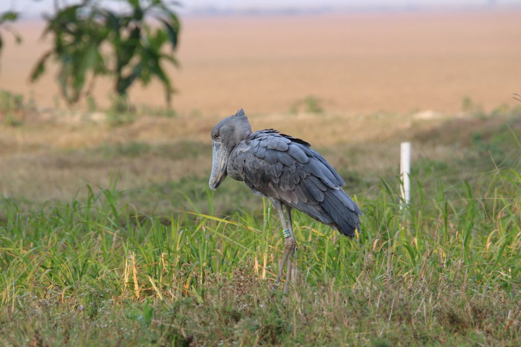 Shoebill Vogel in Bangweulu Swamps, Zambia